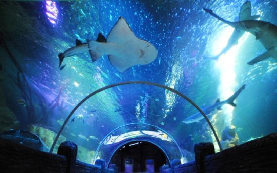 Sea Life Blackpool : The impressive ocean tunnel home to the Bowmouth Guitar Shark & 15 other sharks, some over 7ft l