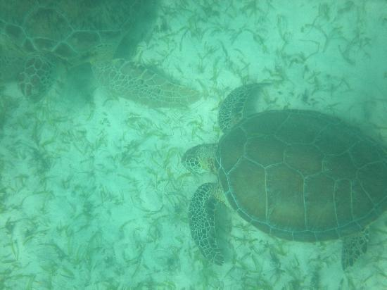 Plage d'Akumal: sea turtles