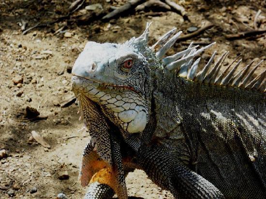 Parc national Washington-Slagbaai, Bonaire : Hungry Iguana at Pos Mangel