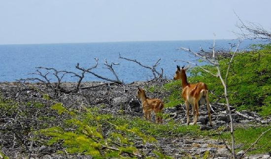 Parc national Washington-Slagbaai, Bonaire : Wild goat and kid