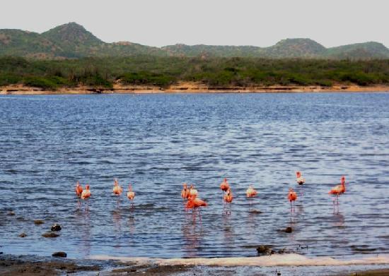 Parc national Washington-Slagbaai, Bonaire : Flamingos