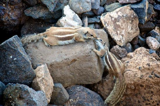 Iberostar Fuerteventura Palace : Chipmunks beside the hotel