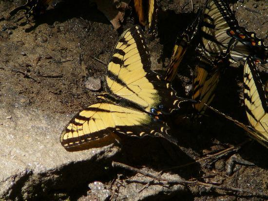Yellow Butterfly at Indian Creek Falls