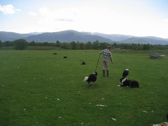 Working Sheepdogs: Time to line up
