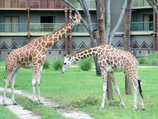Disney's Animal Kingdom Villas - Kidani Village: Safari Tour at Kidani