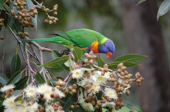 Royal Botanic Gardens: Rainbow Lorikeet eating Eucalyptus Nectar