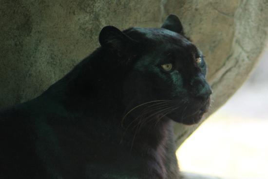 Naples Zoo at Caribbean Gardens : Beautiful panthers!