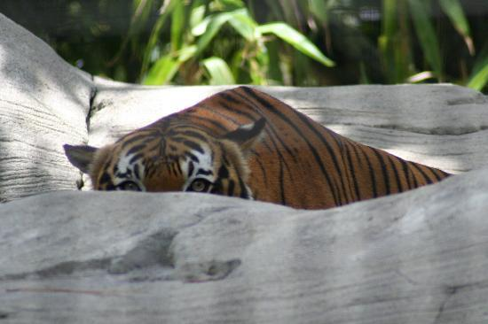 Naples Zoo at Caribbean Gardens : Tigers!