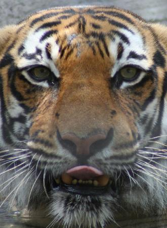 Naples Zoo at Caribbean Gardens: Tigers!