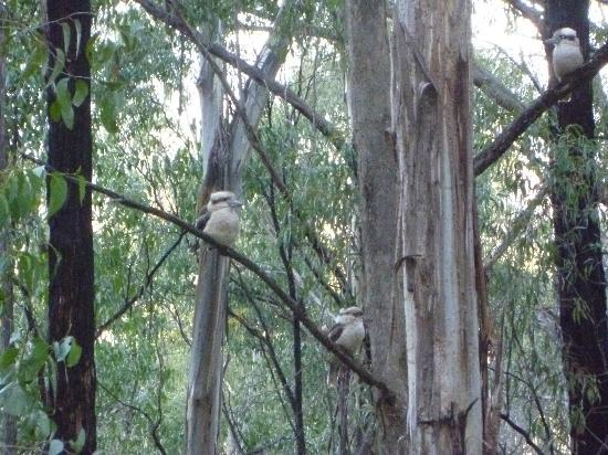 Myers Creek Cascades: The kookaburra family