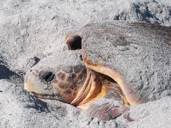 Captiva Island, FL: Sea Turtle Laying Her Eggs