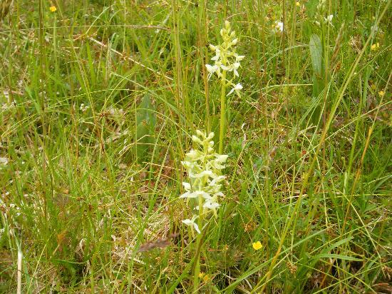 "Craigiewood: Butterfly orchids in ""lawn"""