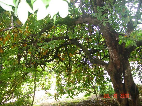 Hotel Aeropuerto Costa Rica: star fruit tree