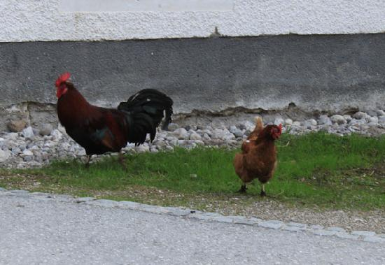 Biobauernhof Prentnergut: chickens