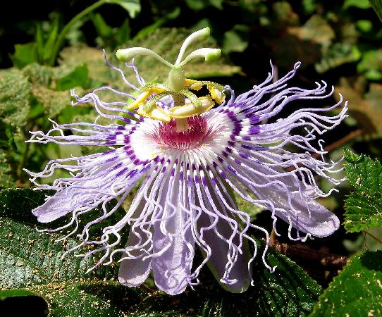 Mandeville, LA: Purple passionflower