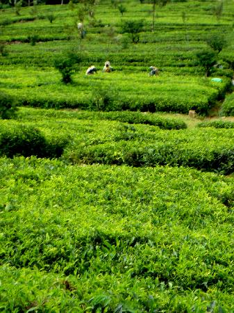 Ceylon Tea Trails : Tea Trails