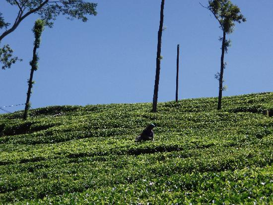Hatton, Sri Lanka: tea pickers