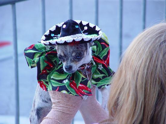 Chandler, AZ: Chihuahua Races