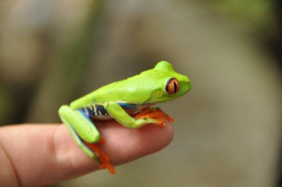 Mawamba Lodge: Red eyed tree frog at the pool.