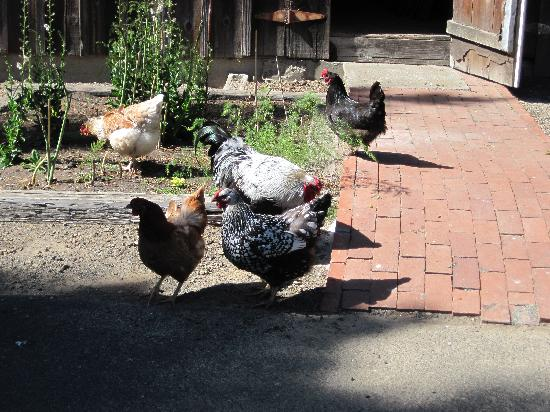 Point Arena, CA: The well fed chickens