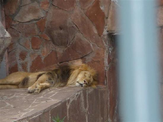 Almaty Zoo: Sleeping lions