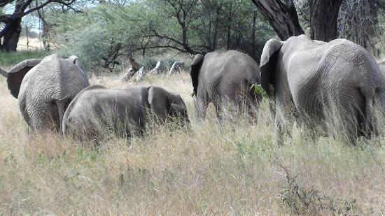 Sarova Shaba Game Lodge : elephants in samburu park
