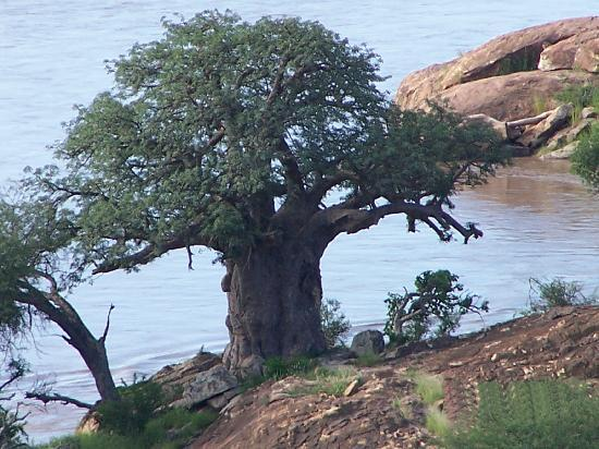 Mapungubwe National Park, Zuid-Afrika: Baobab