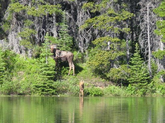 ‪‪Many Glacier Campground‬: Moose at Fishercap Lake‬