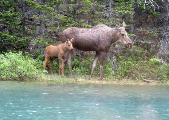 Many Glacier Campground: Moose along shore of Josephine Lake