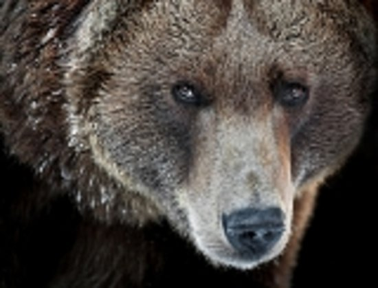 Grizzly Country Wildlife Adventures : Grizzly Bear
