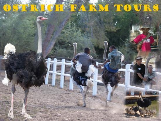 Chandelier Game Lodge & Ostrich Show Farm: Ostrich Tours & Riding