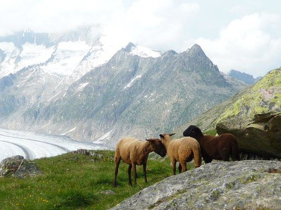 Aletsch Glacier: Glacier sheeps