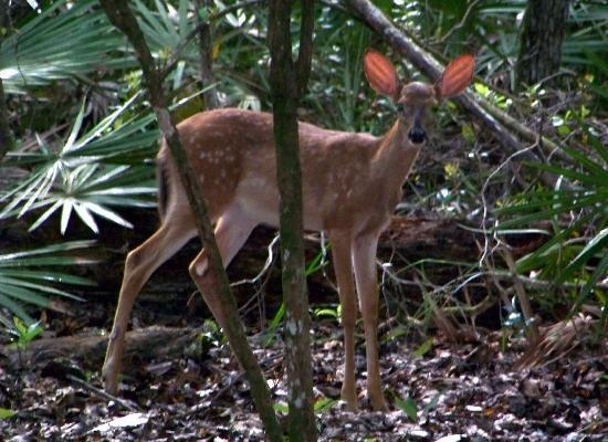 Manatee Springs State Park: deer fawn on Sink Hole Loop trail