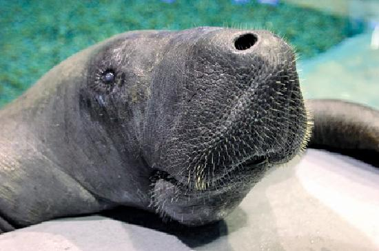 ‪‪Bradenton‬, فلوريدا: Snooty the oldest Manatee‬