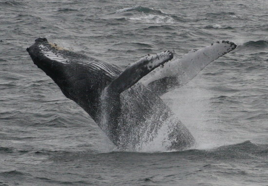 Cape Ann Whale Watch: whale jumping