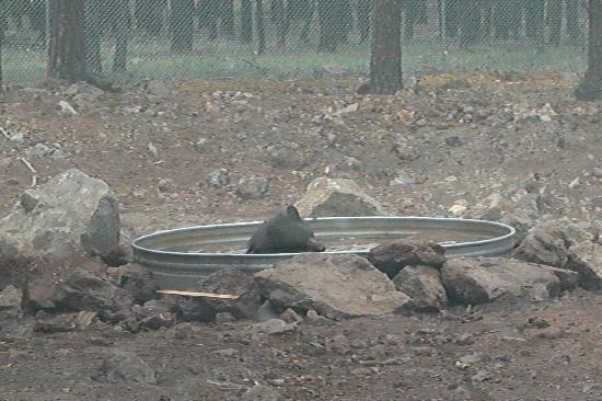 Williams, Arizona: Bear in watering hole