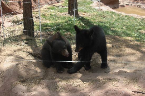 Williams, Arizona: The baby bears