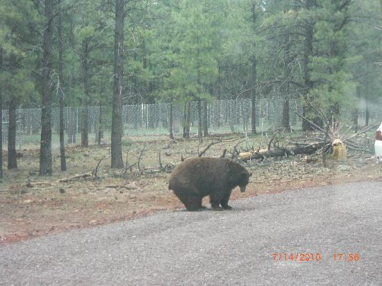 Williams, AZ: Bear in the road