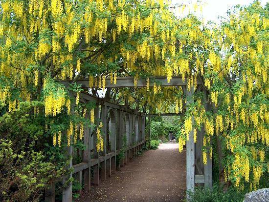 Annapolis Royal Historic Gardens: Laburnum Arbour