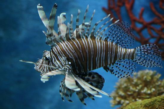 Bangkok, Thailand: Drachenfisch in der Siam Ocean World