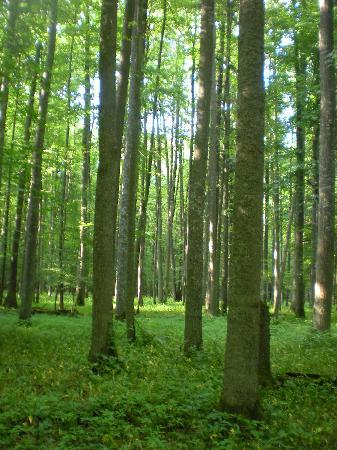 Bialowieza, Poland: forest