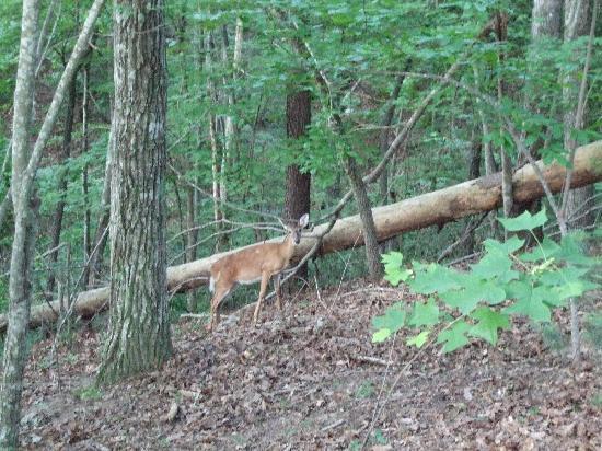 Fox Run Resort : deer off the deck