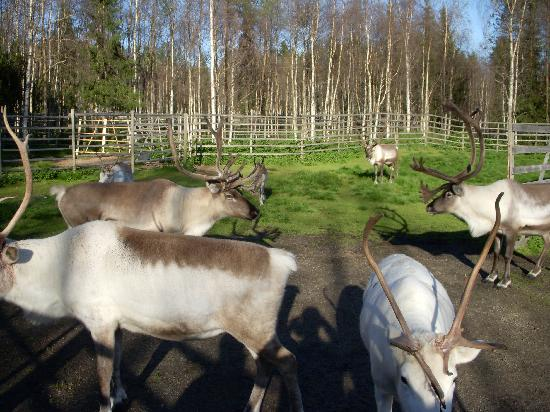 Santa's Hotel Santa Claus : At the reindeer farm