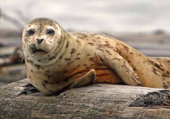 Kitsap Tours: Harbor Seal