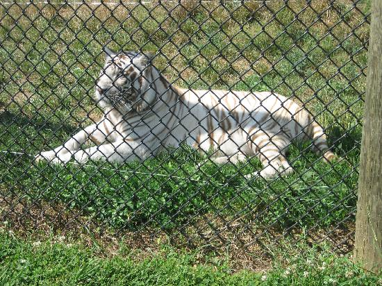 Natural Bridge, VA: white tiger