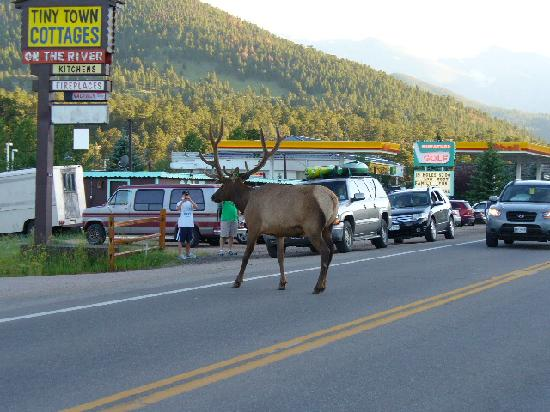 Estes Park, CO: Why'd the Elk Cross the Road?