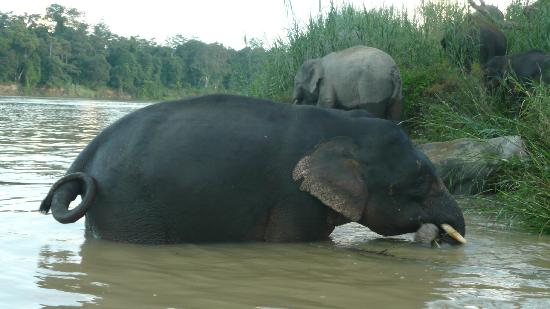 Kota Kinabatangan, Malesia: Pygmys bathing opposite the resort