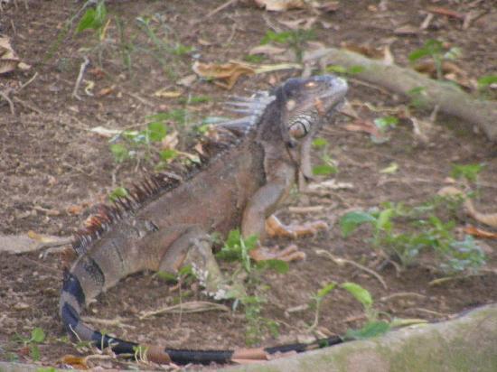 Table Rock Jungle Lodge: Iguana on river