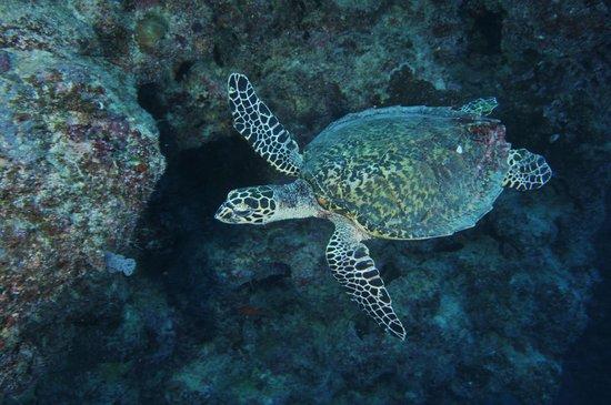 Ono Island, Fidschi: Turtle