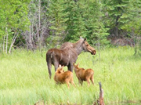 Tok, AK: Wildlife in der Umgebung der Lodge